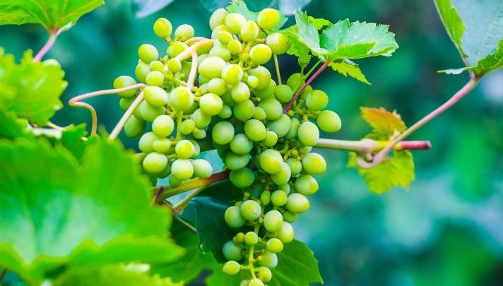 В Волгоградской области каждому жителю вырастили по 2,6 килограмма винограда