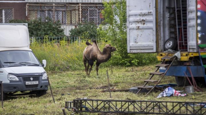 Во дворе на «Родниках» пасутся три верблюда
