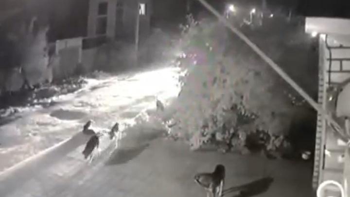В Волгограде на видео попало, как водитель иномарки давит собак