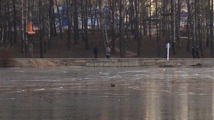 «Она дико орала»: в Ярославле вороны заклевали вмёрзшую в пруд утку