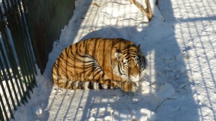 В Большереченский зоопарк привезли вторую подружку для амурского тигра