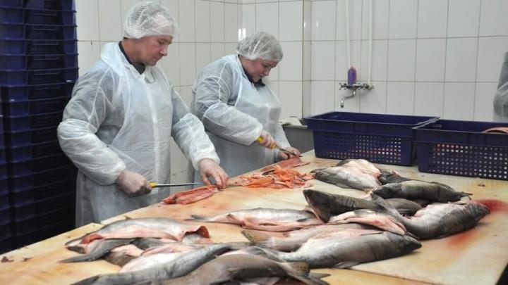 На руководство рыбзавода из Ярославской области завели уголовное дело
