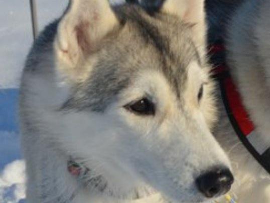 Собаководы ищут того, кто порезал сибирскую хаски в парке 30-летия ВЛКСМ