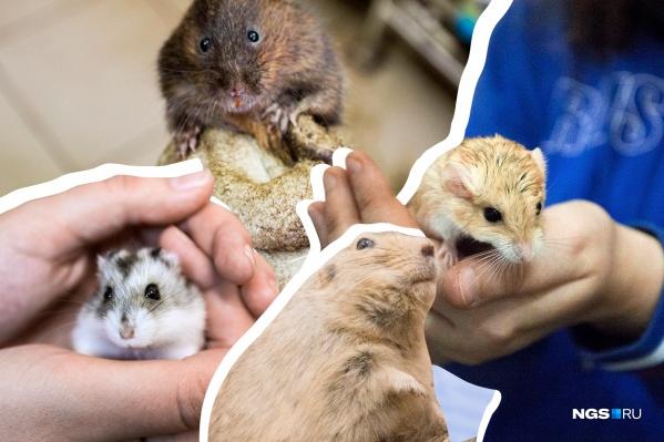 В виварии Института систематики и экологии животных СО РАН обитают десятки видов грызунов