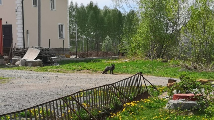 Фото: на улице в Дзержинском районе гуляет чёрная лиса