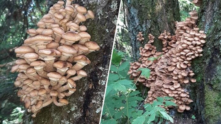 «Сезон опят»: смотрим, какие грибы собирают сейчас в Красноярске
