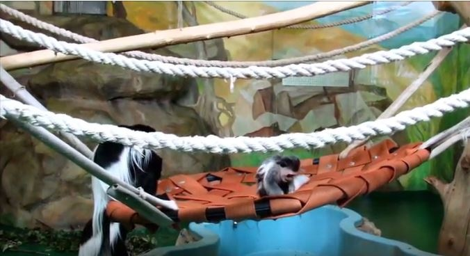Видео: в зоопарке повзрослел малыш восточных колобусов