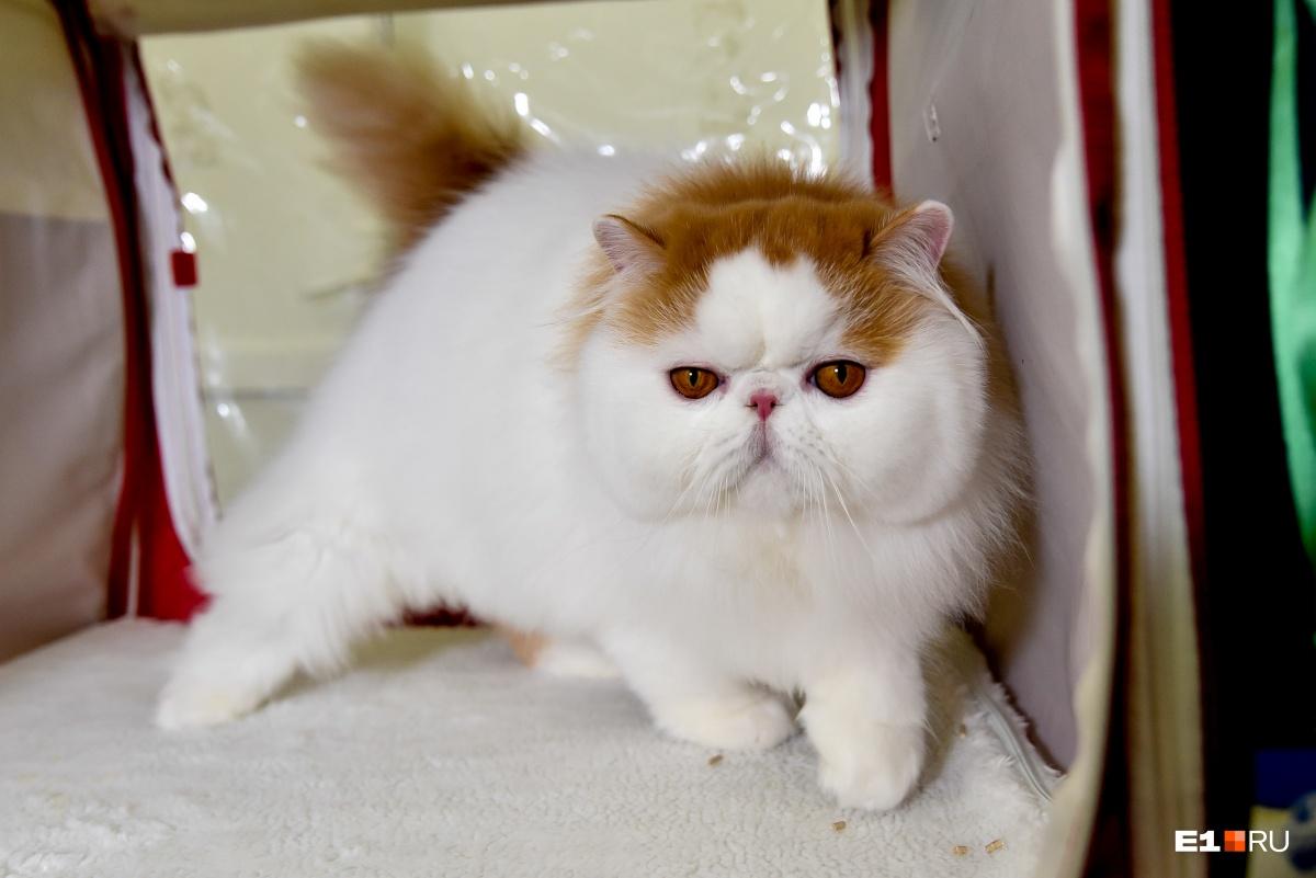 Это настоящий конкурс красоты и милоты! Фоторепортаж E1.RU с выставки кошек в «Пассаже»