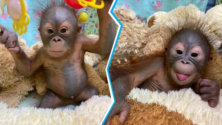Новосибирский зоопарк впервые показал фото детеныша орангутанов — это девочка, её назвали Джулией