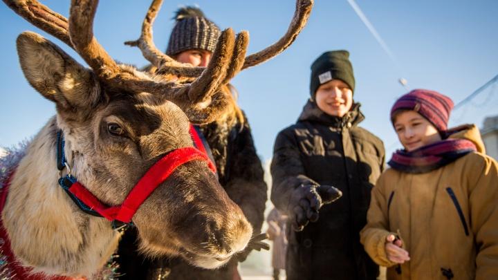 Фото: северный олень в красивом свитере прогулялся по улицам Новосибирска