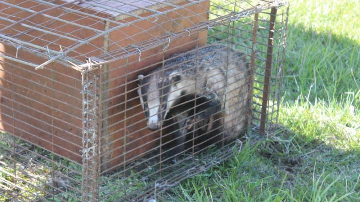 Полицейские отпустили на волю самку барсука, которую охотник держал у себя как домашнее животное