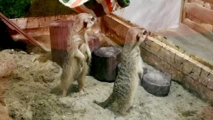 В новосибирский зоопарк переехали три суриката (фото)