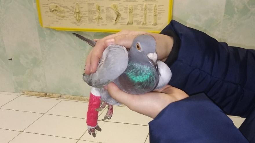 Жители Ишима целый месяц выхаживали голубя с загипсованной лапой