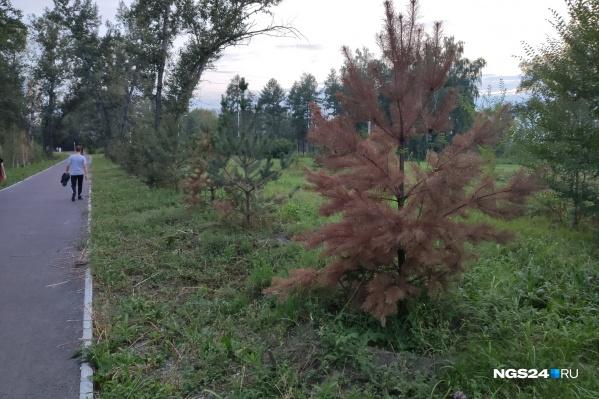 К сожалению, не все деревья прижились на острове Отдыха