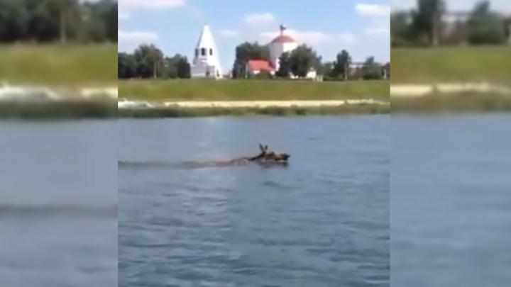 От кремля к мосту: в Сызрани рыбаки сняли на видео плывущего лося