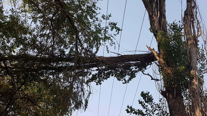 «УК бездействует»: надломленное дерево повисло в паре сантиметров над проводами в Волгограде