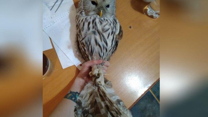 Сову с перебитым крылом, найденную в Уфе, отправили лечиться в Казань