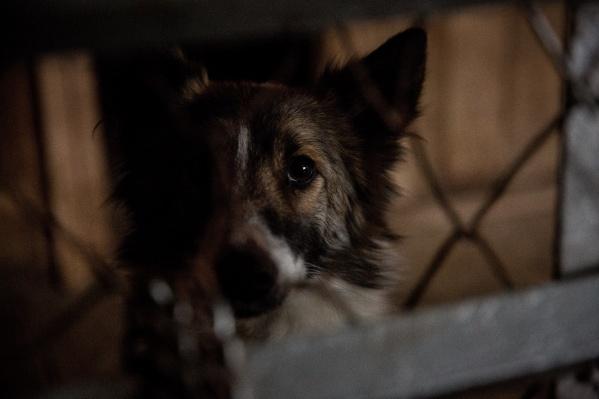 Бездомных собак приходится ловить, чтобы они не собирались в стаи на городских улицах
