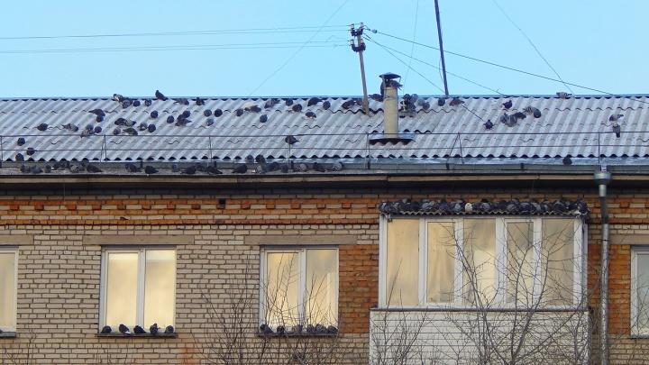 Дом в «Ботаническом» облепили назойливые голуби. Ученый рассказал, почему они могут там селиться