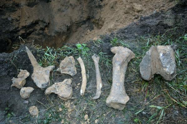 Останки мамонта (фото из архива)