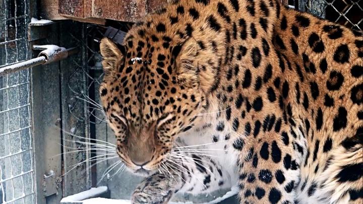 «Как котик»: мурчащего леопарда засняли в «Роевом ручье»