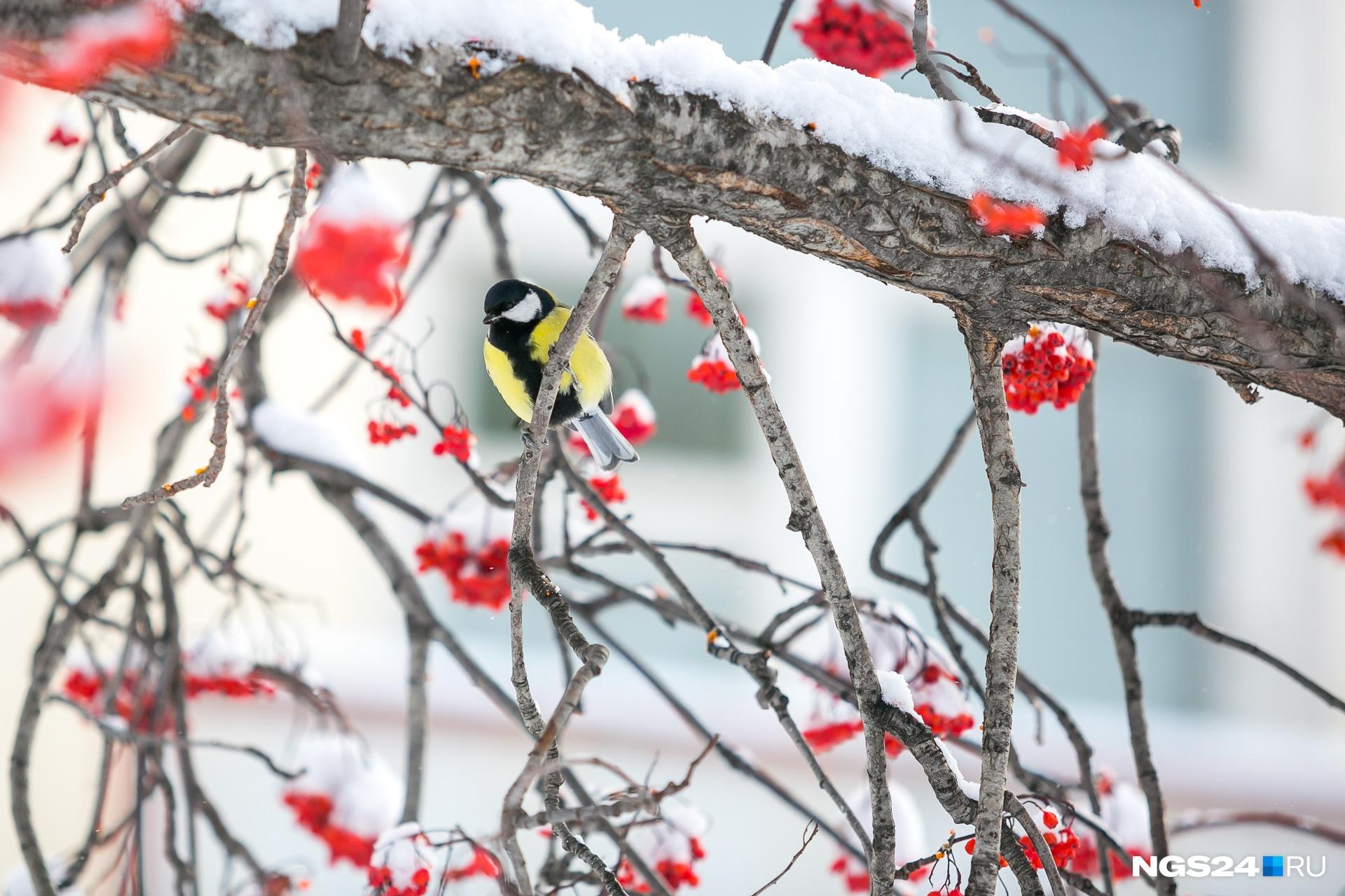 Синички вольные птицы, лучше всего им жить в природных условиях