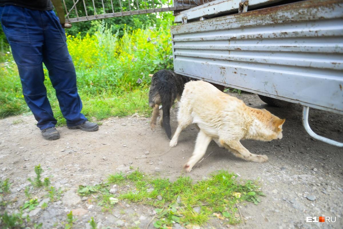 Бродячим собакам в Екатеринбурге вставили чипы и отпустили их дальше бегать по городу