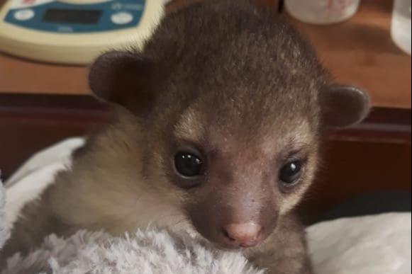 В Новосибирском зоопарке родился малыш кинкажу: его пришлось выкармливать вручную