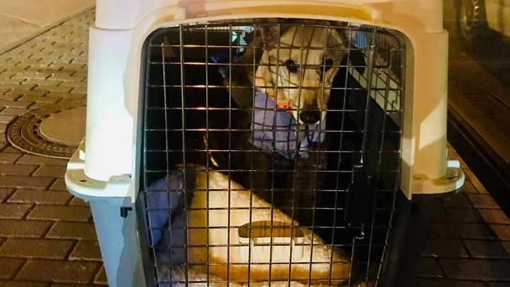 «Обезвоженный и голодный»: пермячка повезла собаку в Берлин, но по пути «Аэрофлот» ее потерял