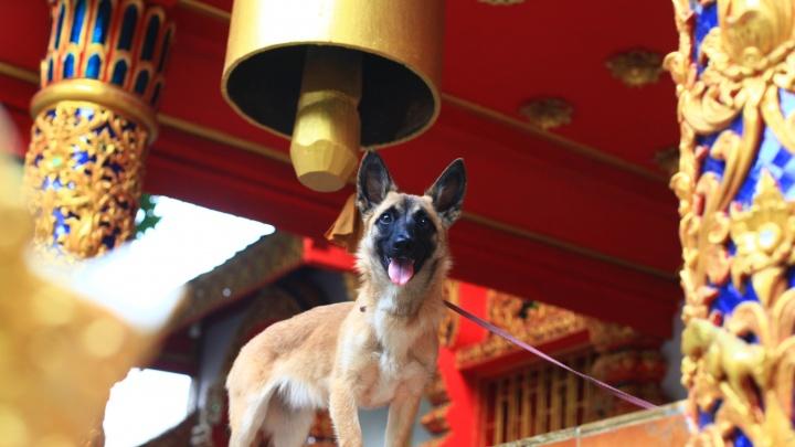 «Как я возил челябинскую дворняжку на зимовку в Таиланд»: лайфхак для провоза толстых собак и котов