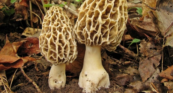 Сморчки, бычки, рогатики: где на Урале найти странные съедобные грибы и как их вкусно приготовить