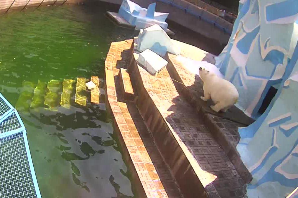 Сегодня Герда выглядит заметно крупнее. В зоопарке корреспонденту НГС сообщили, что она много ест. При этом сотрудники зоопарка отрицают, что медведица беременна