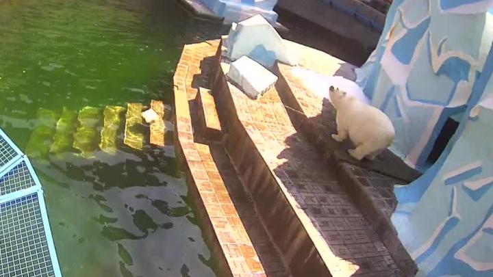 Герду разнесло: медведица в новосибирском зоопарке резко набрала вес