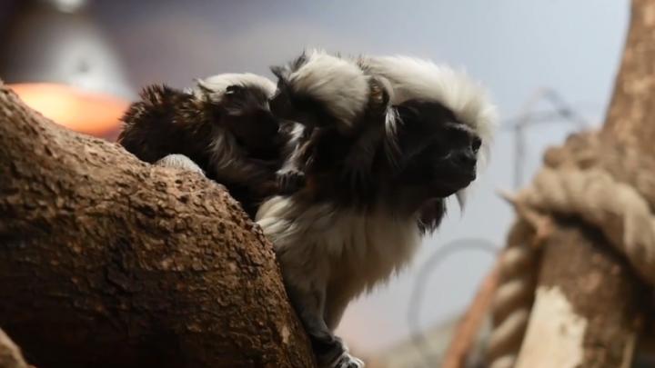 Опять пополнение: в обезьяньих семьях Новосибирского зоопарка появились детёныши