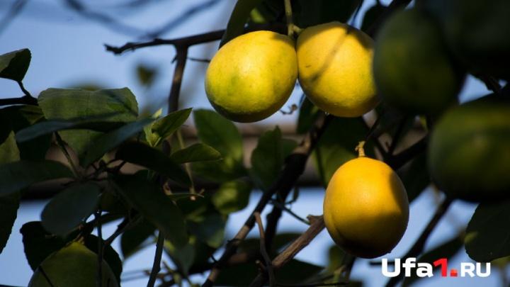 В Уфу везли нелегальные фрукты и орехи