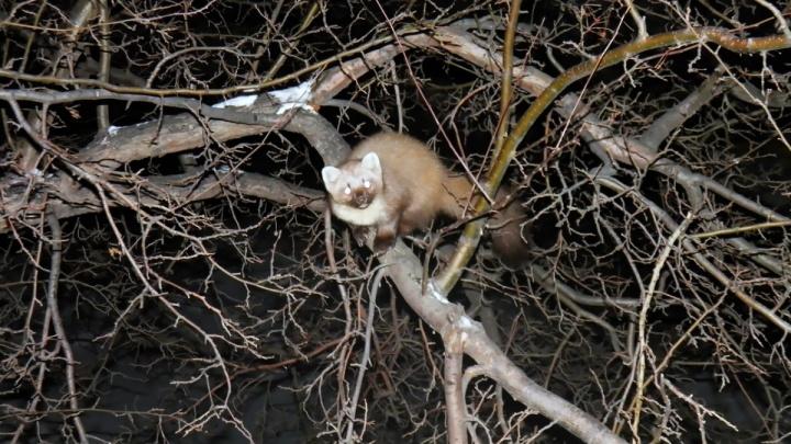 Видео: в Октябрьском районе заметили необычного хищного зверька