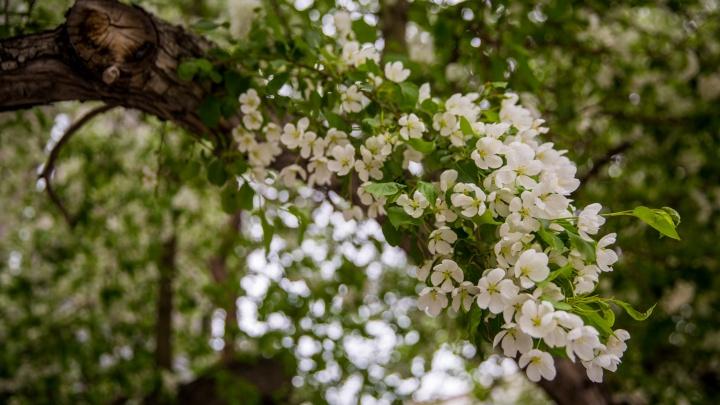 Новосибирск утонул в цветущих яблонях