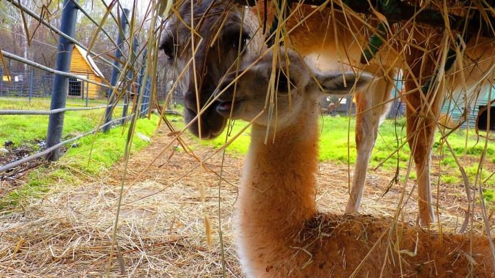 В Большереченском зоопарке разродилась гуанако Маруся
