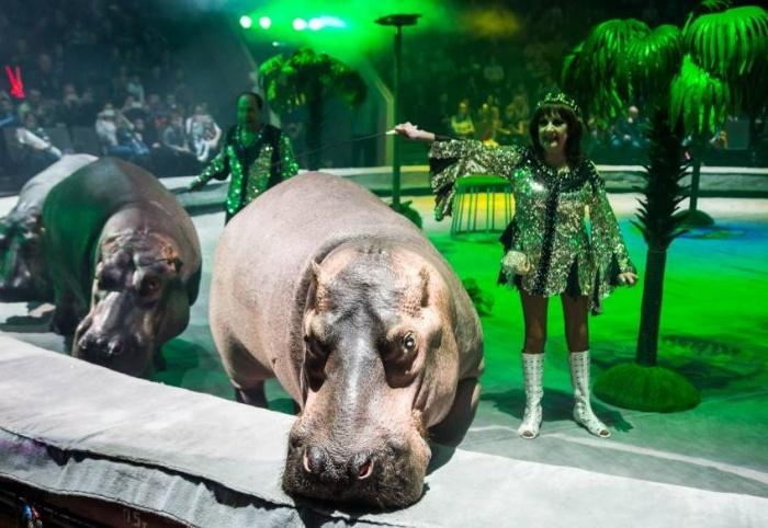С 1 июня в цирке начинается шоу, где выступают бегемоты