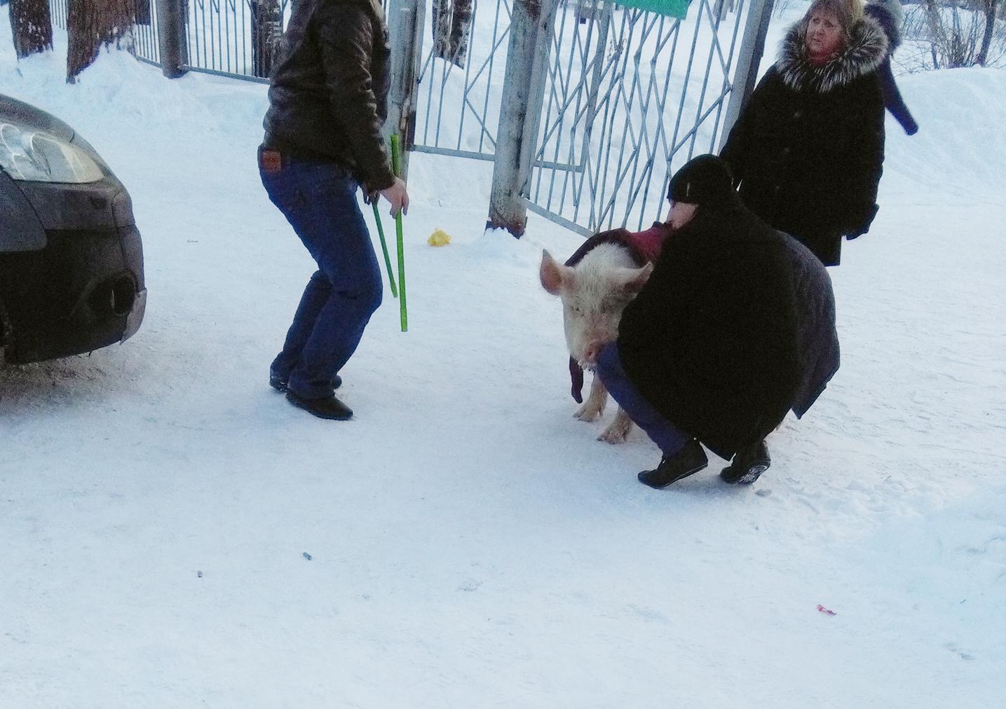 Дети обнимали и гладили свинью