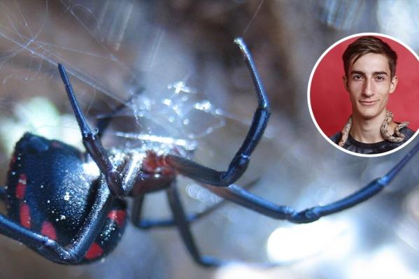 В Сети очень много устрашающих фотографий пауков, но в реальности каракурты не так опасны