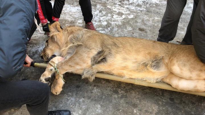 Новосибирские ветеринары удалили больной клык льву Остину