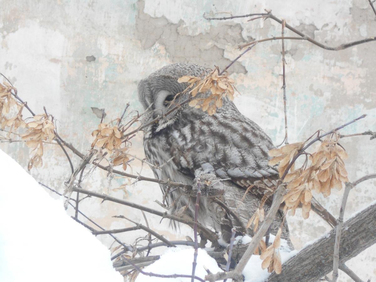 На Урале спасли сову, которая три дня просидела на территории школы и обессилела от голода