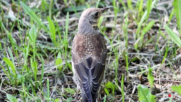 Пермские орнитологи помогут предотвратить столкновения самолётов с птицами