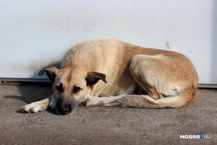 Мишаня и Халява: знакомимся с собаками, которые следят за ДТП на Демьяна Бедного, ТИ Омск