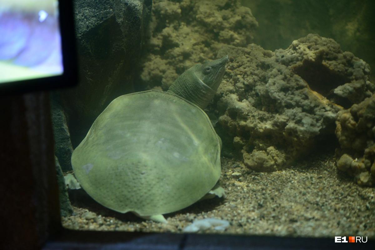 Китайский трионикс — это очень агрессивная и активная черепаха