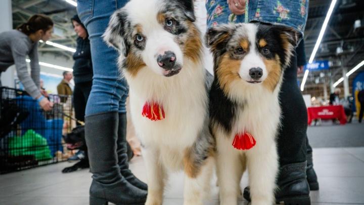 Крутые мопсы и шикарный спаниель. Фоторепортаж с международной выставки собак