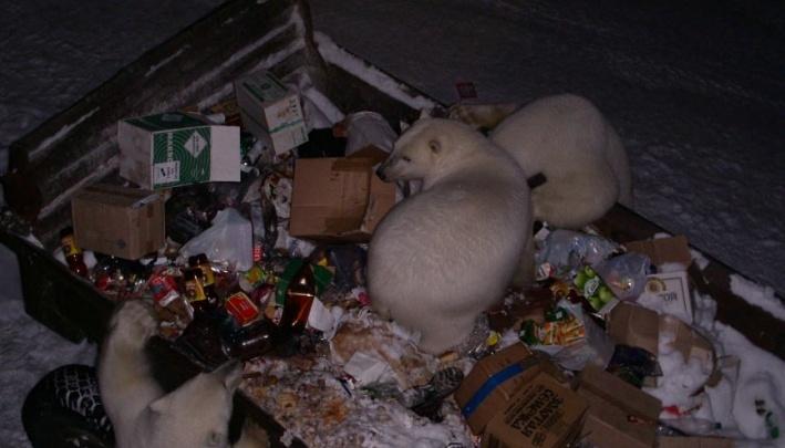 Специалисты «Русской Арктики» выявили, что четверть рациона белого медведя — пластиковые отходы