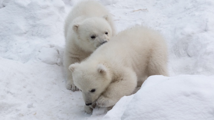 Не то сына, не то дочь: зоопарк предложил новосибирцам угадать пол белых медвежат