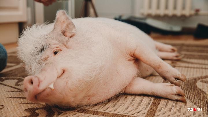 Гадаем вместе со свинкой, каким будет 2019-й для тюменцев: вырастут ли зарплаты, подешевеет ли жилье